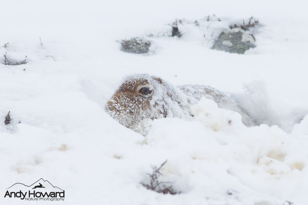 Andy Howard - Hare featured on winterwatch