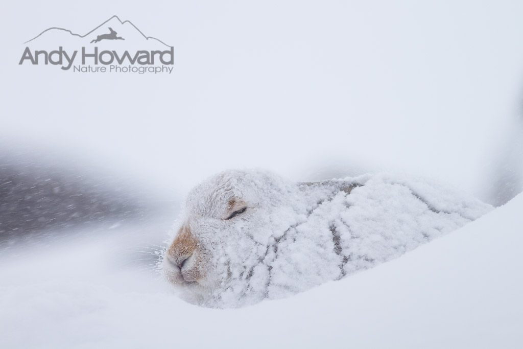 Andy Howard - Hare in Blizzard