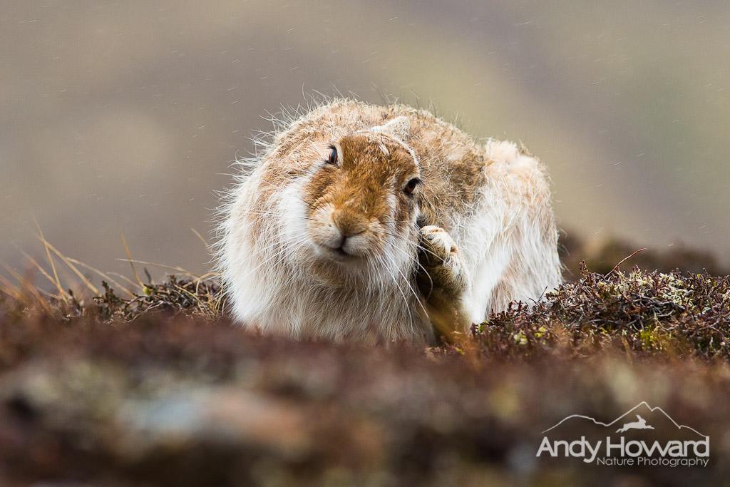 Andy Howard - Hare in rain