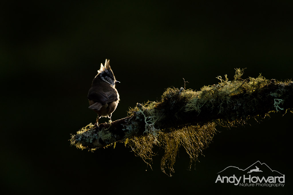 Crested Tit - Andy Howard