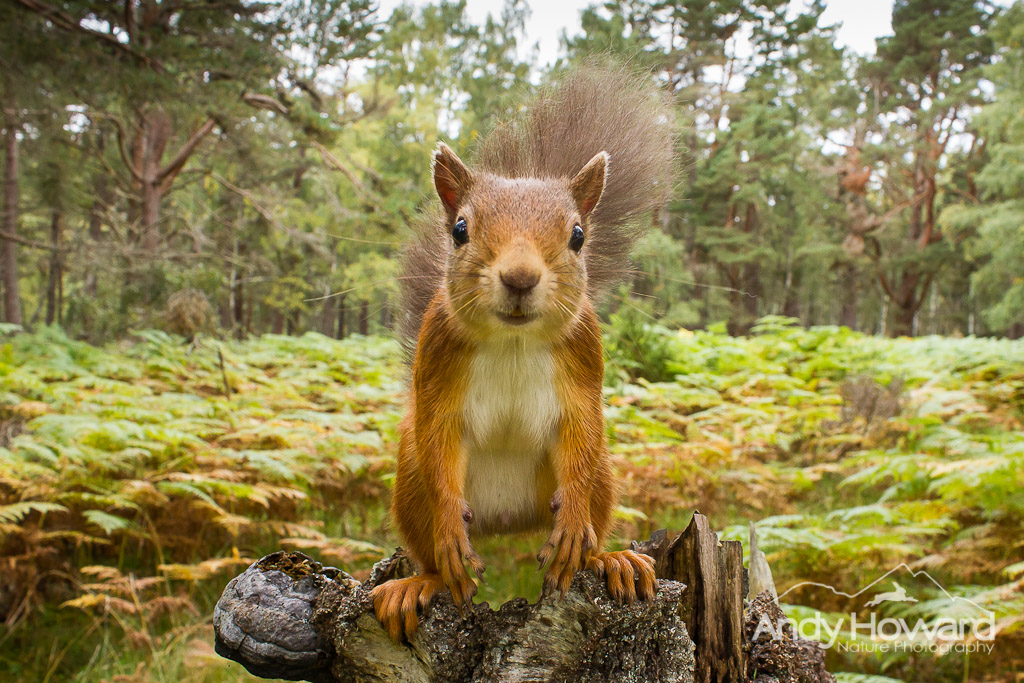 Red Squirrel - Andy Howard
