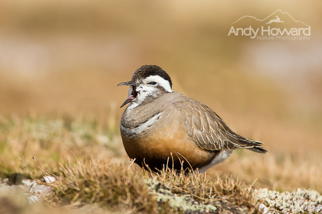 Dotterel - Andy Howard