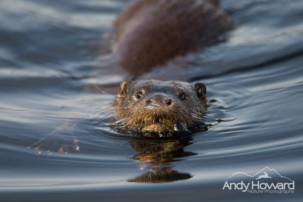 Otter - Andy Howard