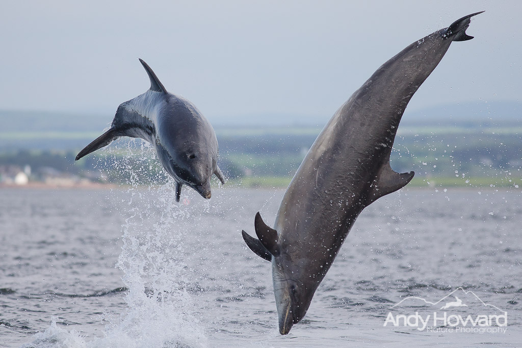 Dolphins - Andy Howard
