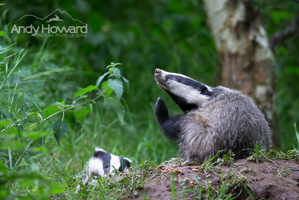 Badgers - Andy Howard