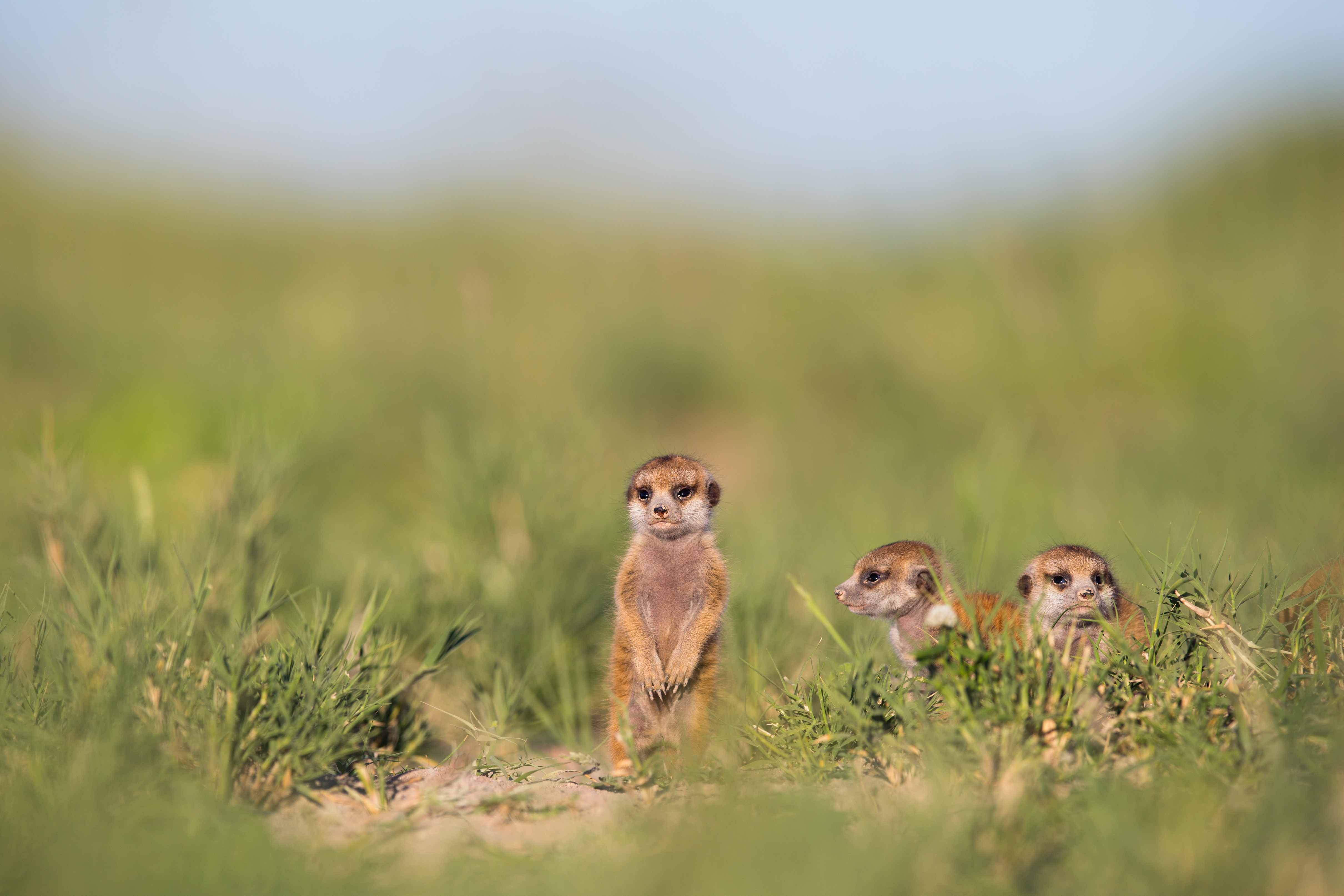 Baby meerkat, Botswana